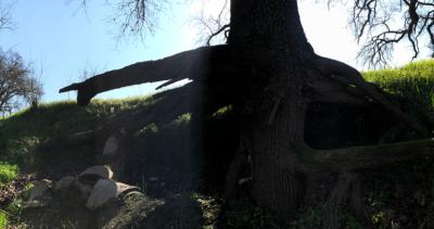 laloma-tree2